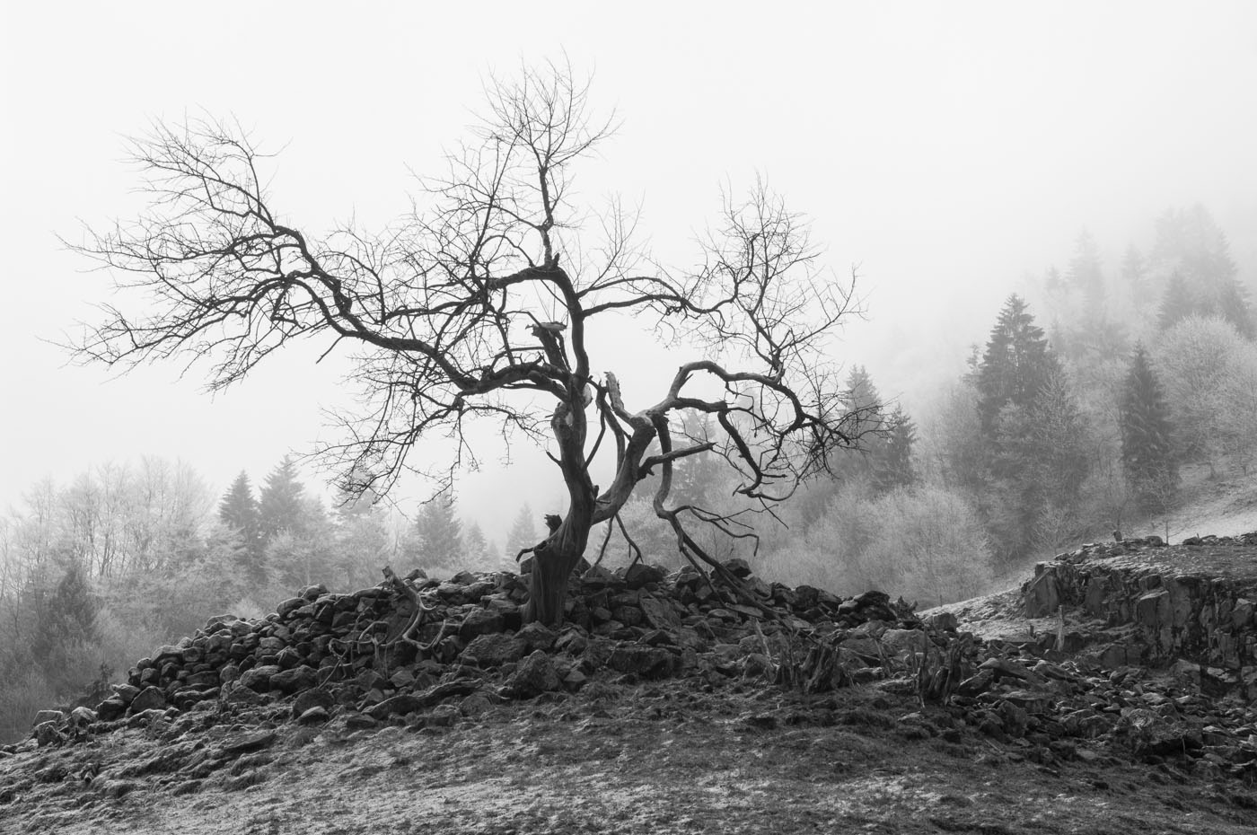 Tree without leaves | Black Forest | Muenstertal